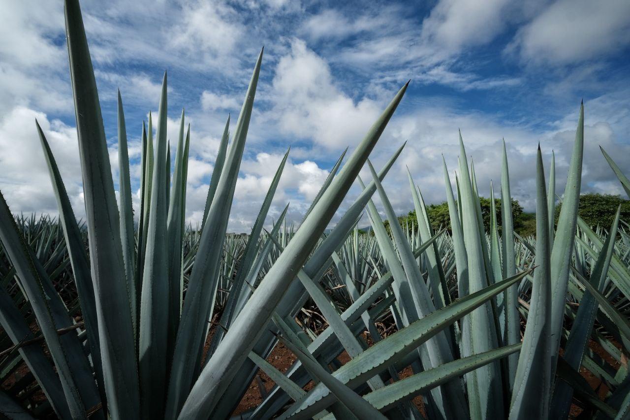 Jalisco conmemora al Tequila con certificación responsable
