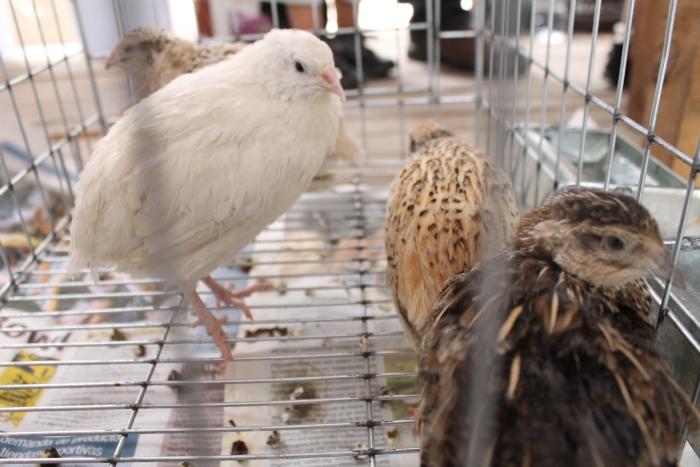 Imagen alusiva a la nota Codornices, una alternativa de negocio avícola